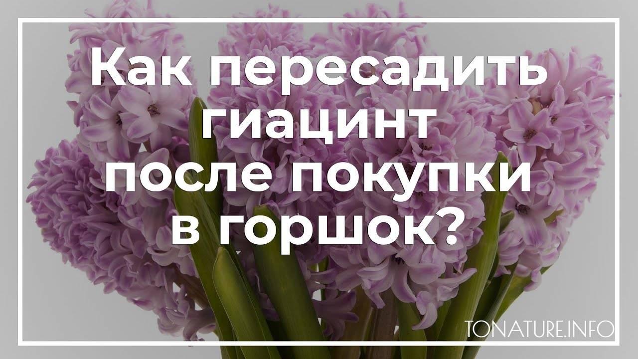 Гиацинт - посадка и уход, выгонка - как выращивать цветок в домашних условиях