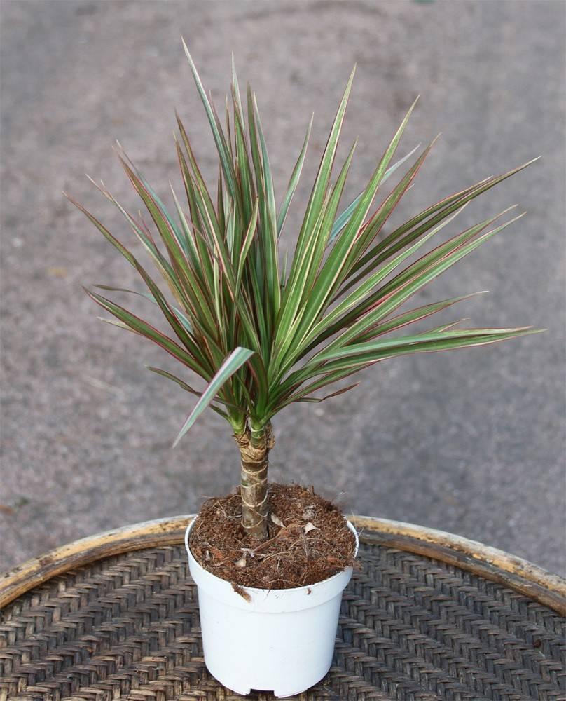 Тропическая драцена маргината – одно из самых популярных и полезных домашних растений