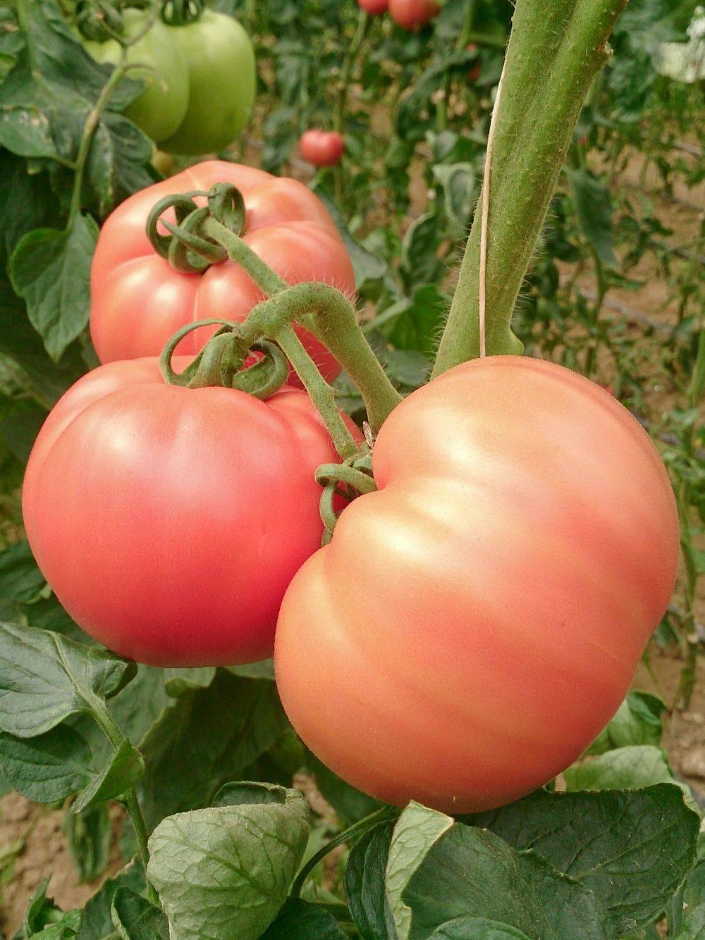 Томат розовый король: характеристика и описание гибридного сорта с фото