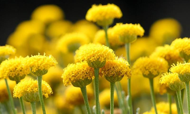 Сантолина: выращивание и уход в саду