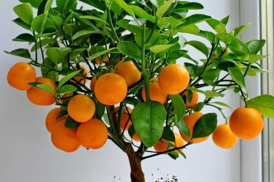 Удобрение грунта для цитрусовых растений и советы по уходу