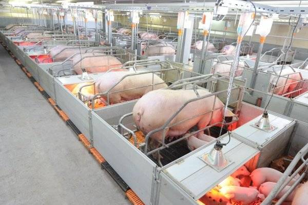 Свиноферма и свиноводство как бизнес: с чего начать и как преуспеть