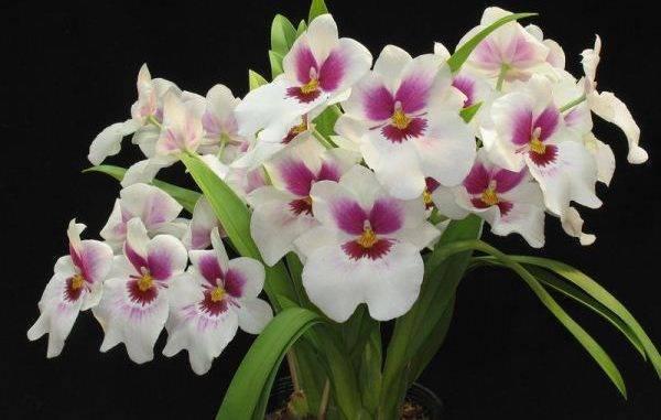 Орхидея мильтония уход в домашних условиях, фото