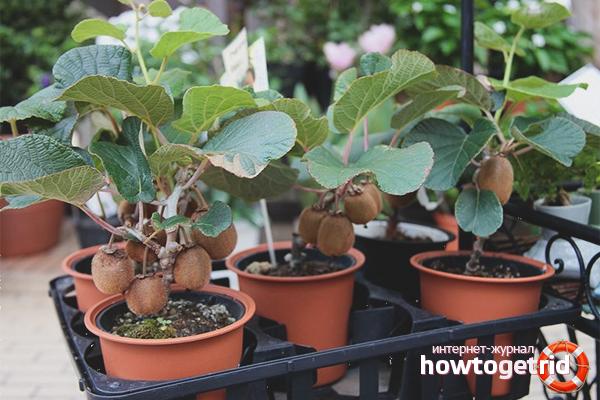 Выращивание киви: уход в домашних условиях от проращивания семян до плодоношения. секреты выращивания киви дома - секреты садоводов
