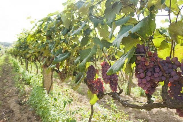 Виноград низина: описание и характеристика сорта, посадка и уход, урожайность