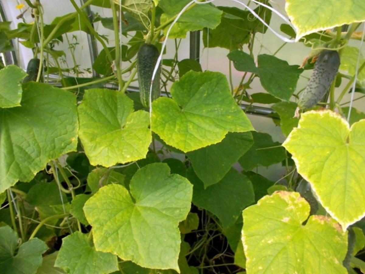 Почему листья и завязи огурцов желтеют в теплице и грунте