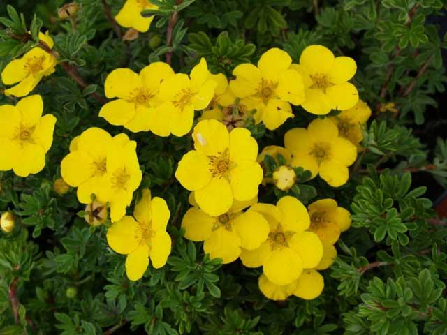 Размножение лапчатки: как размножить лапчатку кустарниковую черенками? черенкование желтой лапчатки летом, дальнейший уход