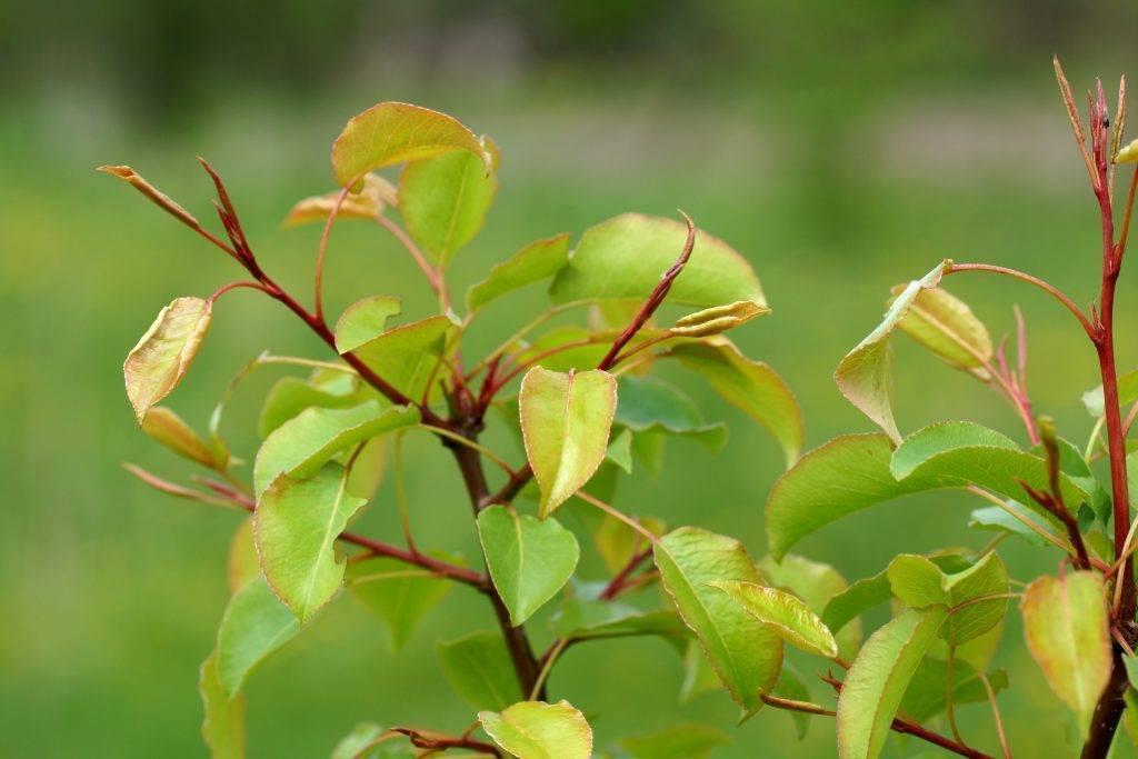 Почему не плодоносит груша и что делать: основные причины