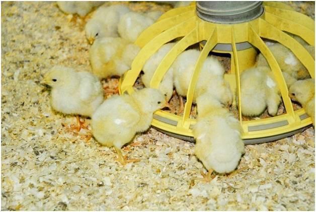 Кормление цыплят несушек с первого дня в домашних условиях