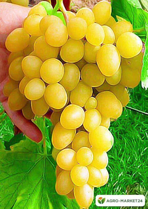 Сорт винограда лора: описание, фото