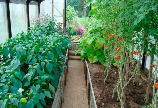 Как сажать перец рассадным способом: технология посадки в открытый грунт и теплицу