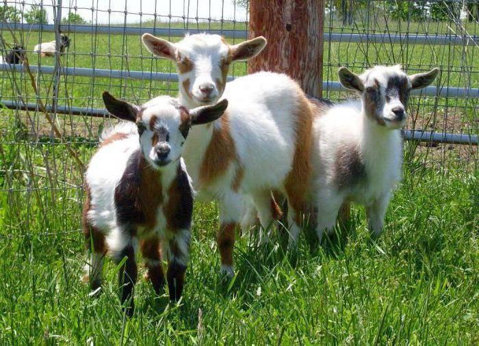 Что делать при поносе у козы