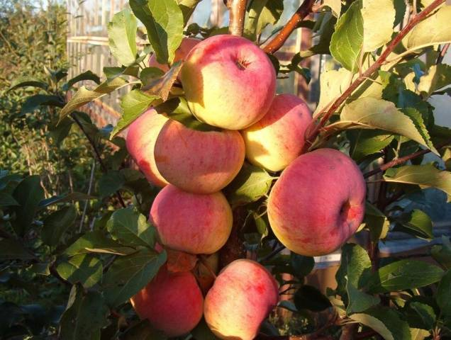 Яблоня услада: описание сорта, посадка и уход за ним