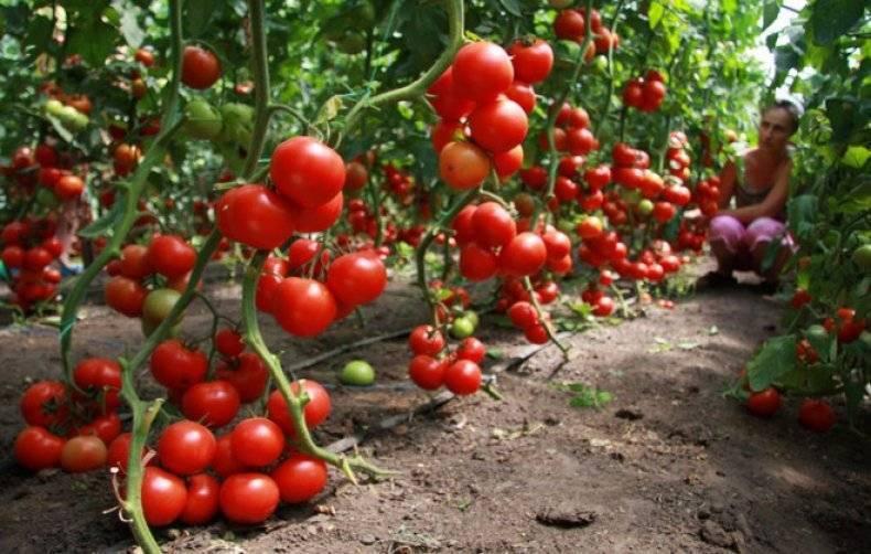 Правильный полив помидоров в теплице: когда, как и чем