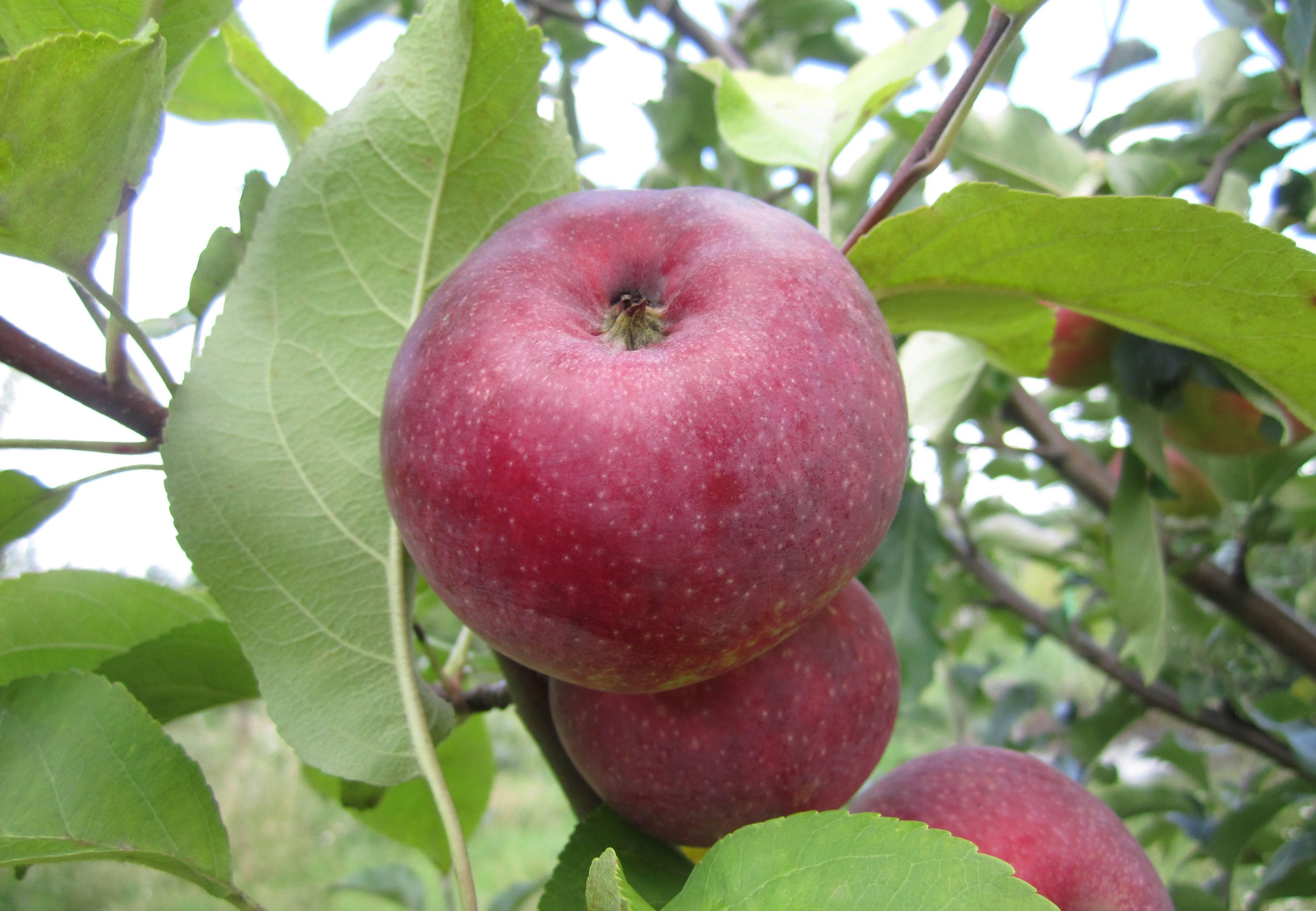 Яблоня лобо – сладкий сорт без особых хлопот