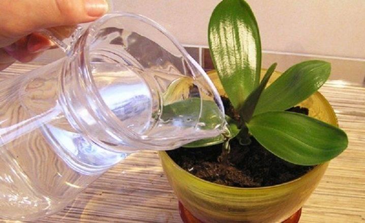 Советы специалистов — нужно ли поливать орхидею после пересадки?
