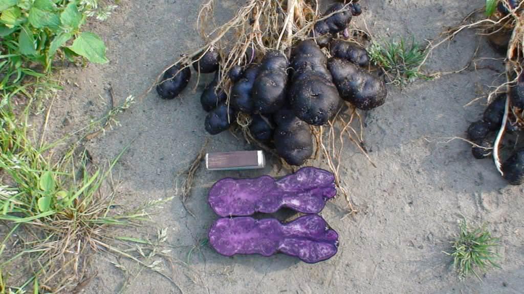 Фиолетовая картошка: что за сорт, польза, посадка и уход