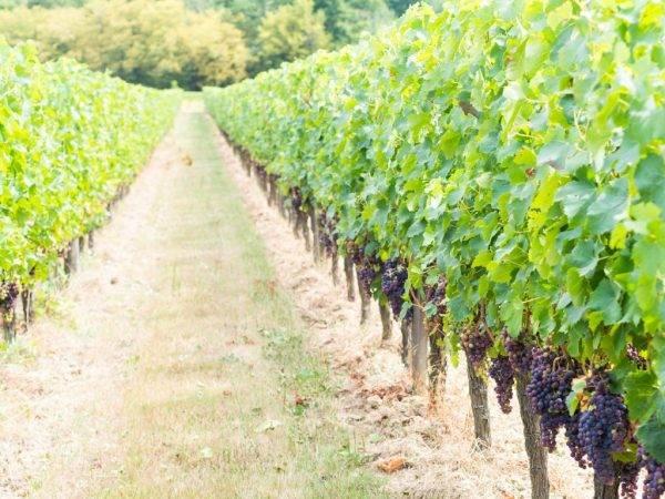 Сорт винограда гала — описание характеристика - сорта винограда, столовые | описание, советы, отзывы, фото и видео