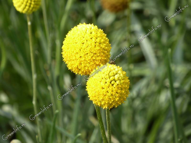 Краспедия: фото, виды, выращивание из семян и уход, использование украшения