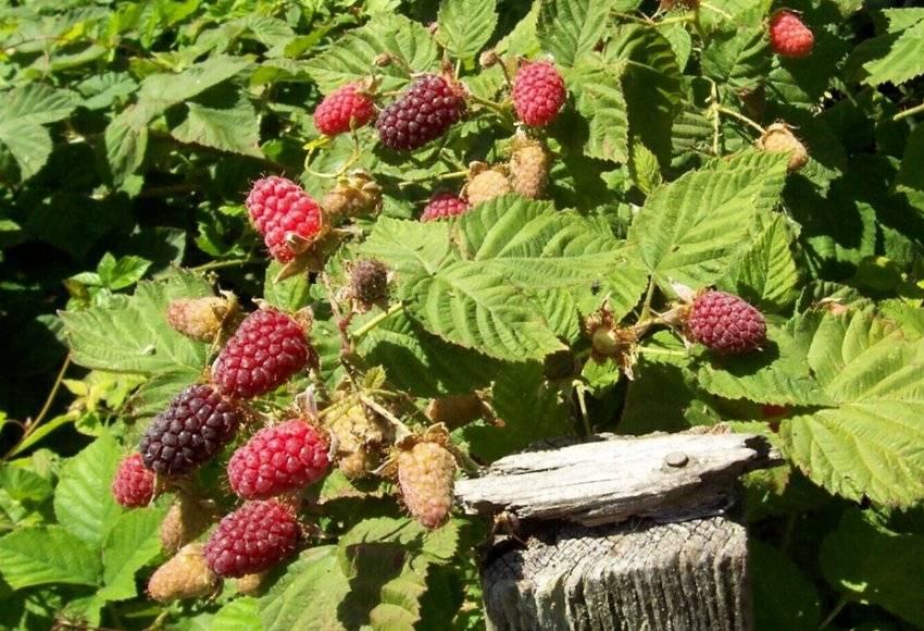 Посадка и уход за необычной ягодой гибридом ежемалиной садовой