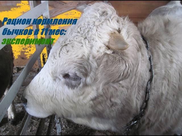 """Правильный откорм крупного рогатого скота ао """"витасоль"""""""
