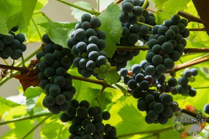 Виноград изабелла из нового света: его польза и вред