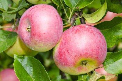Сорта яблонь для ленинградской области: названия с фото и описанием, отзывы