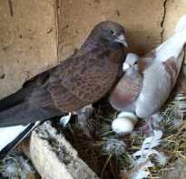 Обзор лекарства ласота для голубей: применение и фото обзор лекарства ласота для голубей: применение и фото