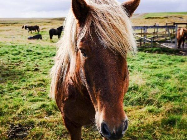 Описание лошади Исландской породы