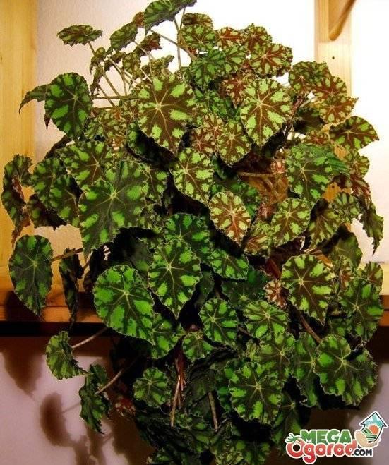 Уход в домашних условиях за бегонией декоративно-лиственной