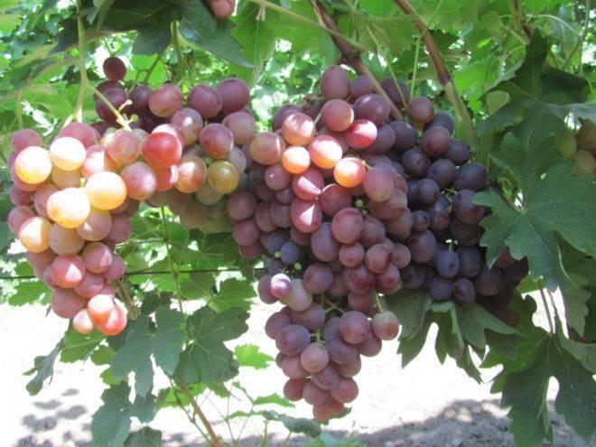 Виноград низина: описание сорта с характеристикой и отзывами, особенности посадки и выращивания, фото