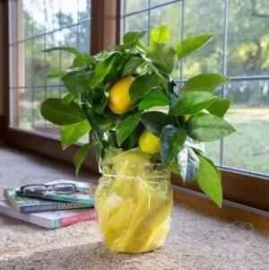 Как пересадить лимон правильно и пошагово, в том числе комнатный в горшок с новым грунтом, когда это можно делать в домашних условиях, советы по уходу за деревомдача эксперт