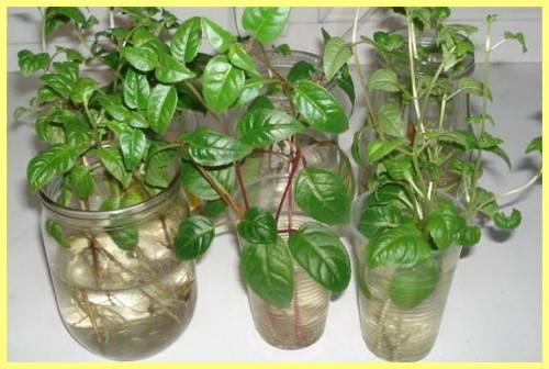 Особенности размножения фуксии в домашних условиях: подробная инструкция по выращиванию из листа