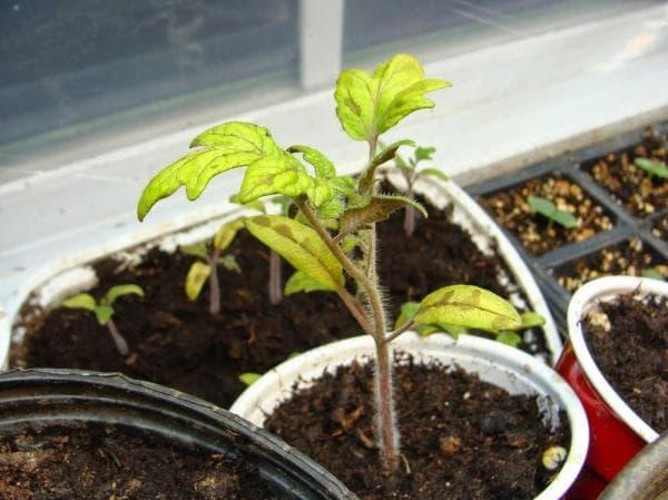 Что делать, если опадают листья у рассады помидоров: полезные рекомендации