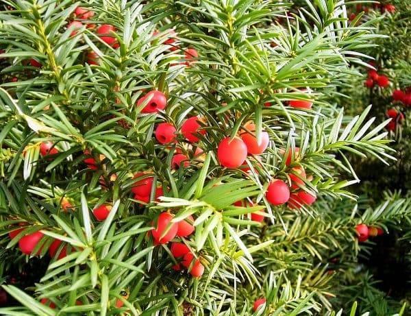 Тис ягодный: описание, посадка и уход, использование в ландшафтном дизайне, популярные сорта