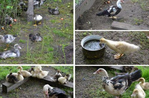 Разведение уток - инструкция для начинающих и особенности заработка на утках (видео и фото)