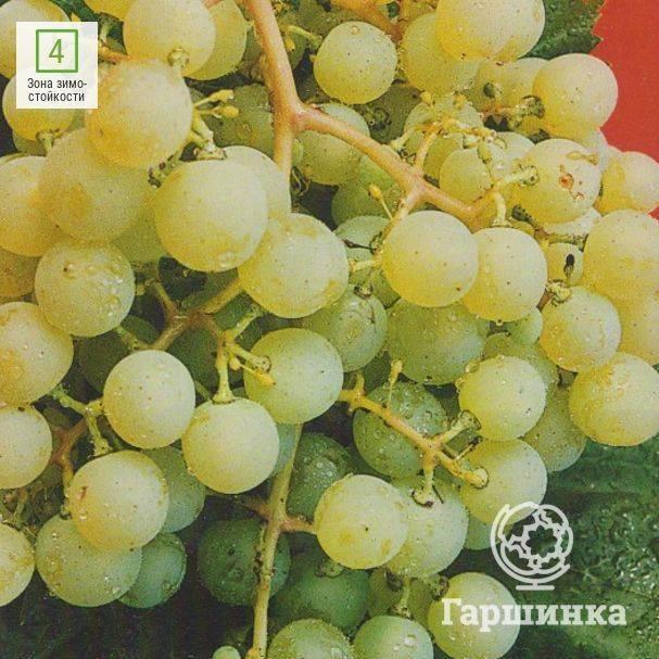 Гибридные формы винограда селекционеров-любителей