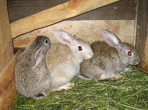 Основы кролиководства: в каком возрасте отсаживать крольчат и чем их кормить