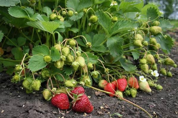 Подкормка и уход весной за садовой земляникой