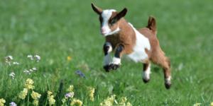 Как назвать козу? топ необычных кличек для девочек и мальчиков