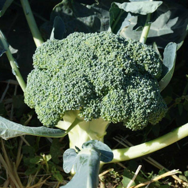 Самые лучшие сорта брокколи для открытого грунта: топ-15 по отзывам огородников