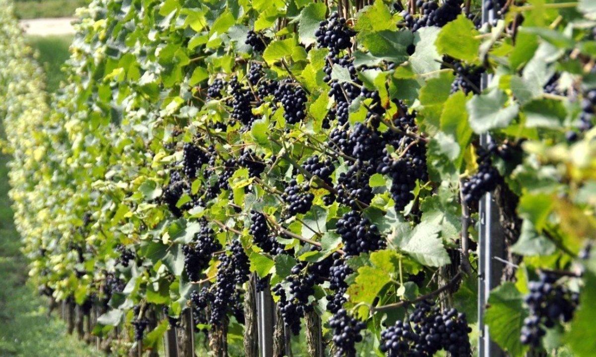Как правильно посадить саженец винограда. важные моменты