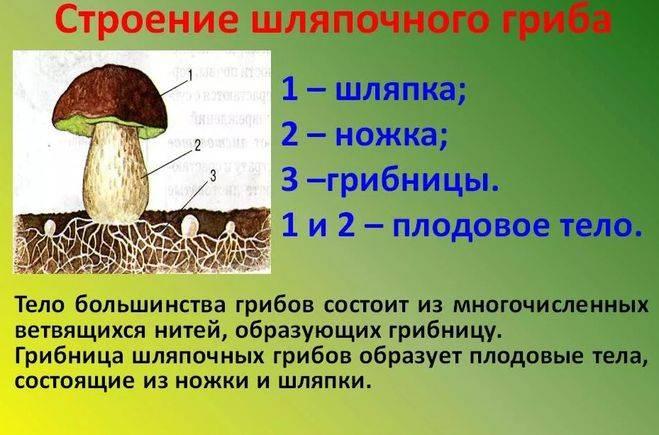 Плодовое тело гриба — википедия
