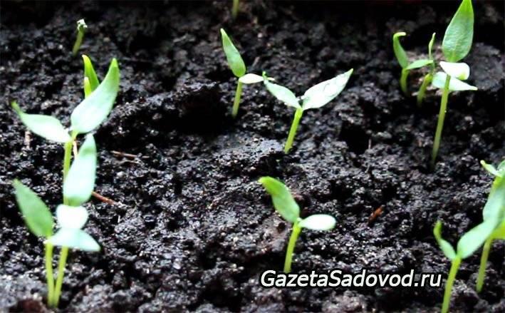 Посадка перцев на рассаду: сроки посадки, проращивание семян, уход за саженцами