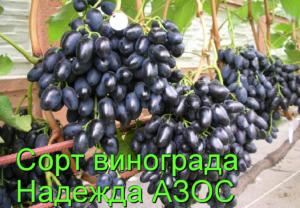 Виноград надежда аксайская