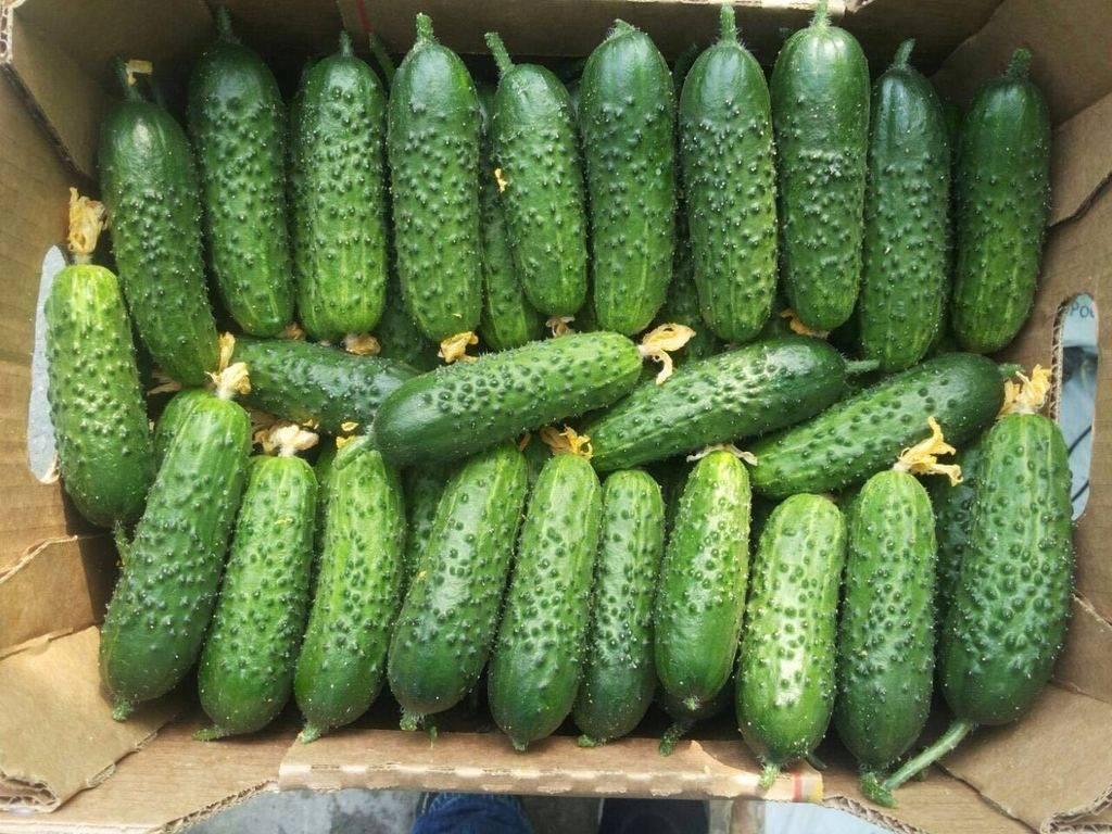 Огурцы герман: особенности сорта и его выращивания