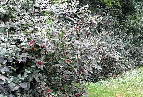 Калина гордовина: фото и описание, способы размножения, посадка и уход за кустарником