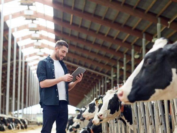Спаривание быка с коровой – все тонкости процесса