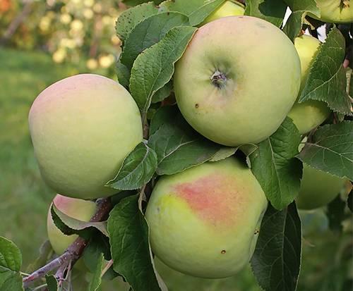 Яблоня мартовское: описание сорта и характеристики, плюсы и минусы с фото