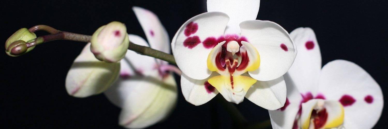 Интересные факты: почему пропадают орхидеи?